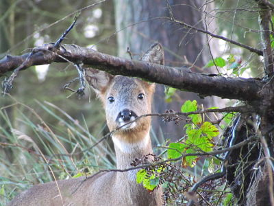 Roe Deer opt