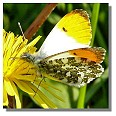 butterfly orange tip