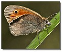 butterfly small heath