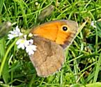 meadow-brown-butterfly-ghioridail-july2011 opt opt